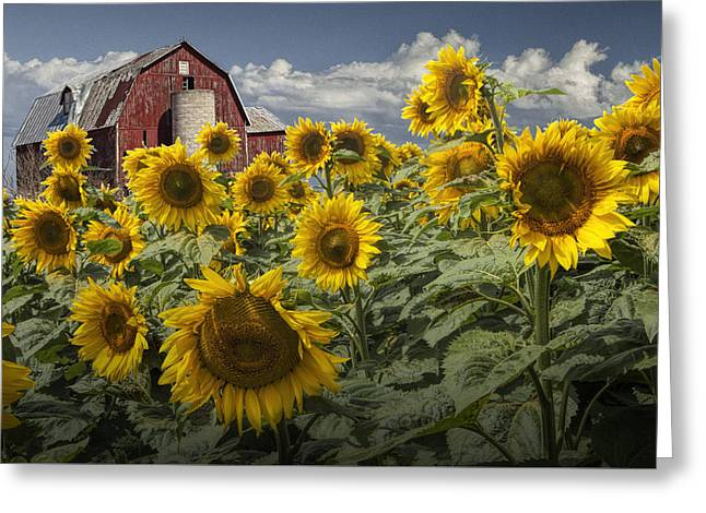 Golden Blooming Sunflowers With Red Barn Greeting Card by Randall Nyhof