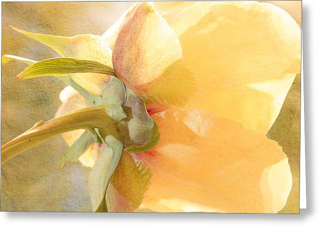 Golden Bowl Tree Peony Bloom - Back Greeting Card