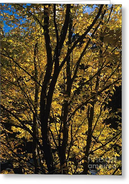 Golden Colors Of Autumn In New England  Greeting Card by Erin Paul Donovan