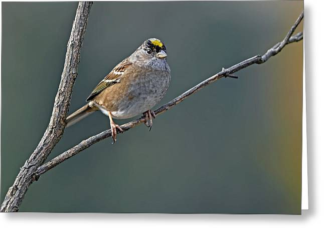 Oregon Wild Life Greeting Cards - Golden Crowned Sparrow in Early Fall Greeting Card by Laura Mountainspring