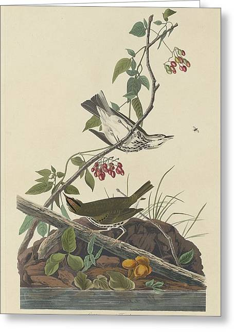 Golden-crowned Thrush Greeting Card