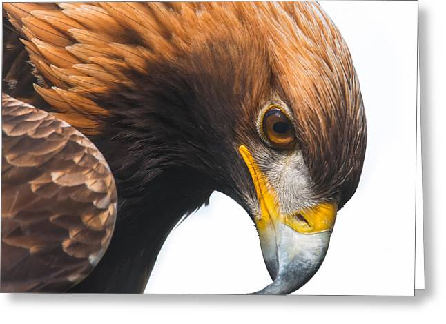 Golden Eagle Greeting Card