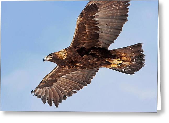 Golden Eagle Flight Greeting Card
