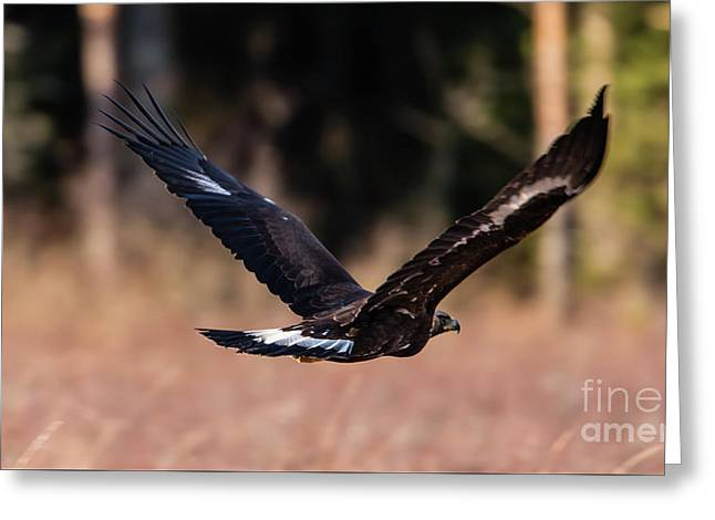 Golden Eagle Flying Greeting Card by Torbjorn Swenelius