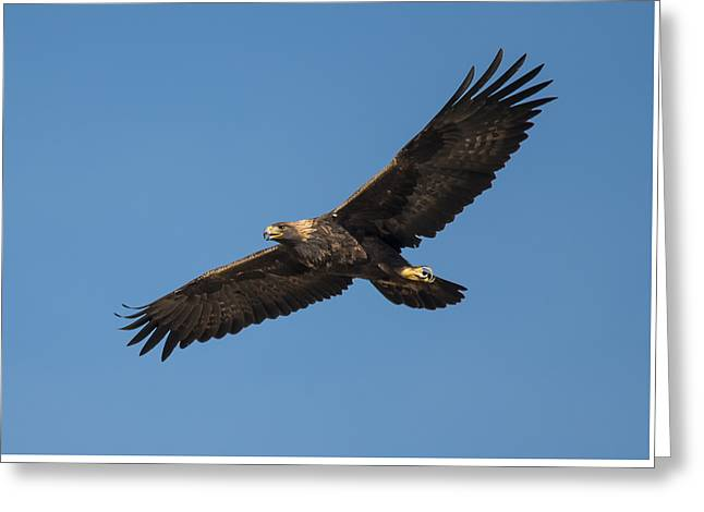 Golden Eagle In Flight Greeting Card