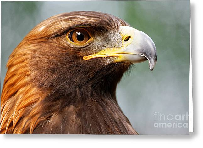 Golden Eagle Intensity Greeting Card