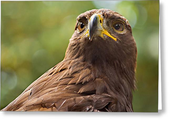 Golden Eagle Portrait Greeting Card by Peter J Sucy