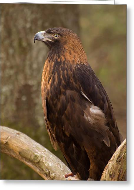 Golden Eagle Resting On A Branch Greeting Card by Chris Flees
