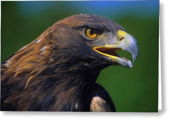 Golden Eagle Greeting Card by Tony Beck