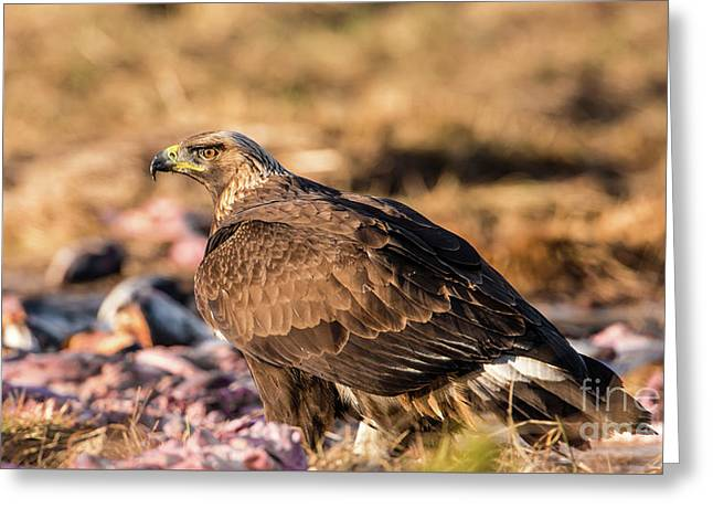 Greeting Card featuring the photograph Golden Eagle's Back by Torbjorn Swenelius