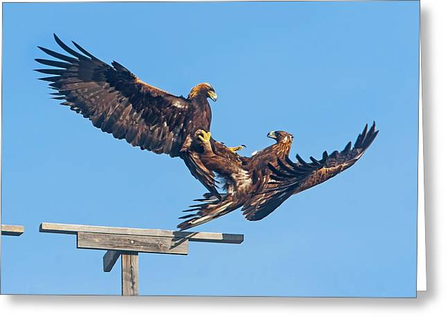 Golden Eagle Courtship Greeting Card