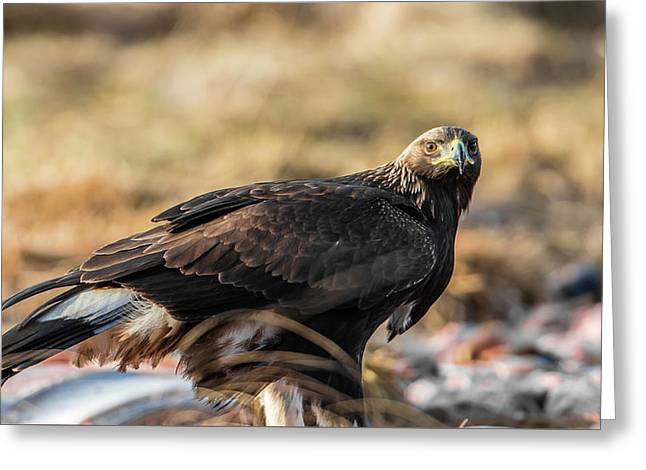 Greeting Card featuring the photograph Golden Eagle's Glance by Torbjorn Swenelius