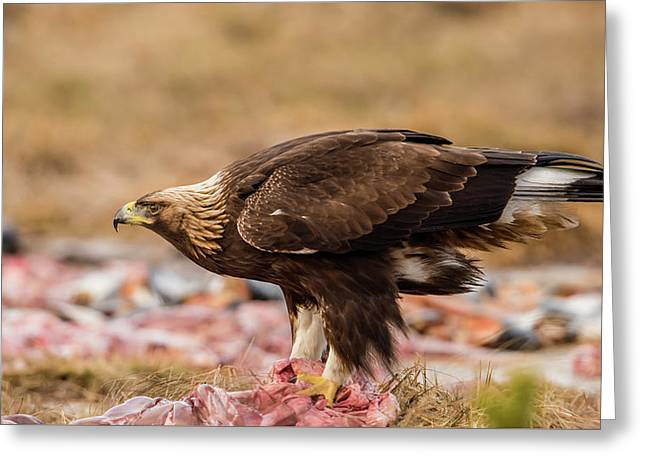 Greeting Card featuring the photograph Golden Eagle's Profile by Torbjorn Swenelius