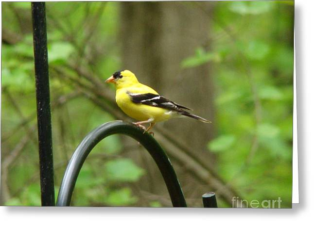 Golden Finch Greeting Card