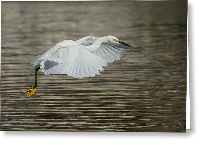 Greeting Card featuring the photograph Golden Flight by Fraida Gutovich