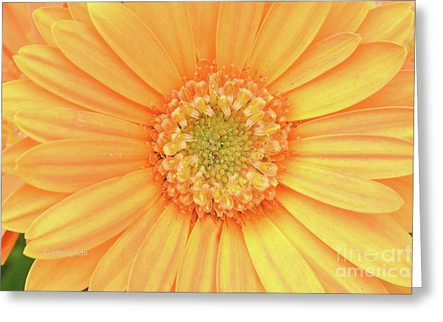 Golden Gerbera Daisy Greeting Card by Regina Geoghan