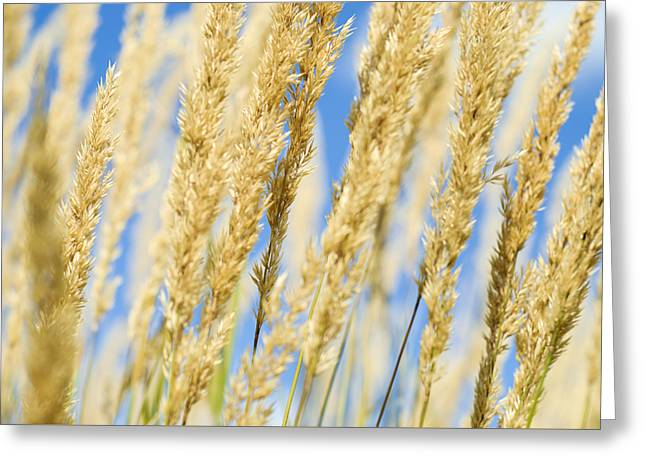 Greeting Card featuring the photograph Golden Grains by Christi Kraft
