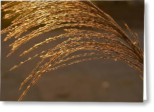 Golden Grass Greeting Card by Douglas Barnett