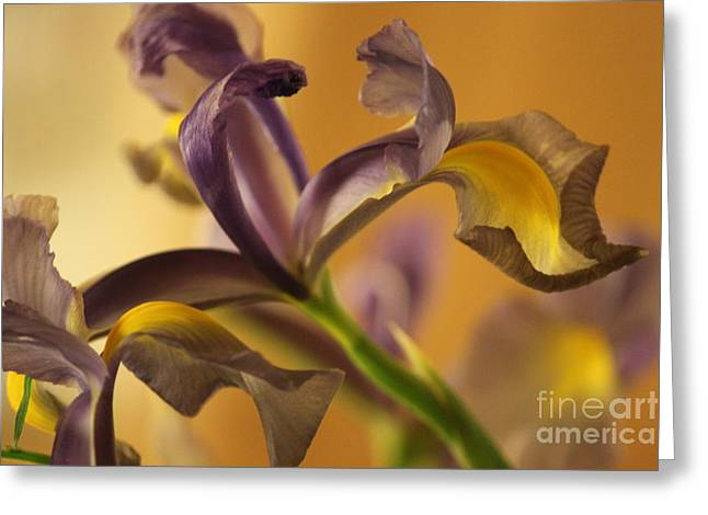 Golden Iris Greeting Card by Terri Thompson