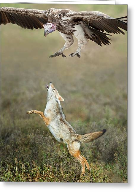 Golden Jackal, Canis Aureus, Leaping At Vulture Greeting Card by Panoramic Images