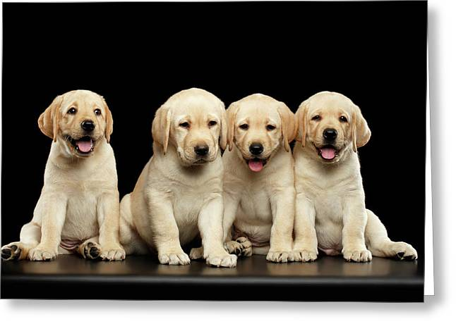 Golden Labrador Retriever Puppies Isolated On Black Background Greeting Card by Sergey Taran