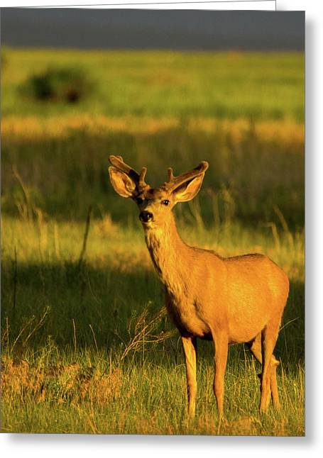 Golden Light Buck II Greeting Card