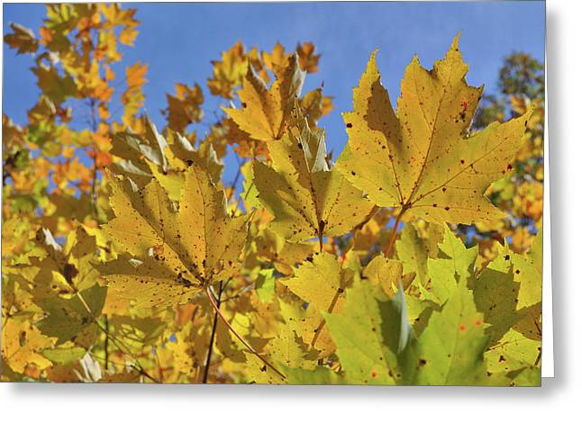 Golden Maple Greeting Card by JAMART Photography