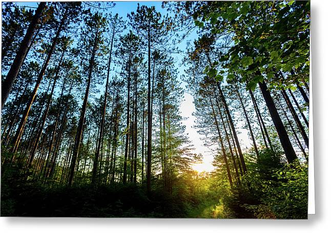 Golden Pines Greeting Card