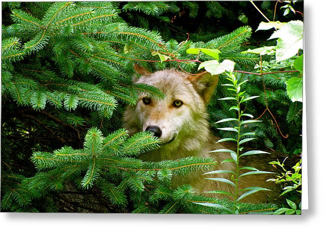 Wolf From The Forest Greeting Cards - Golden Red Wolf Greeting Card by Debra     Vatalaro