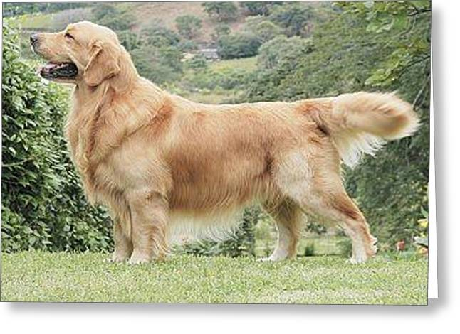 Golden Retriever Greeting Card by Bailey Reed