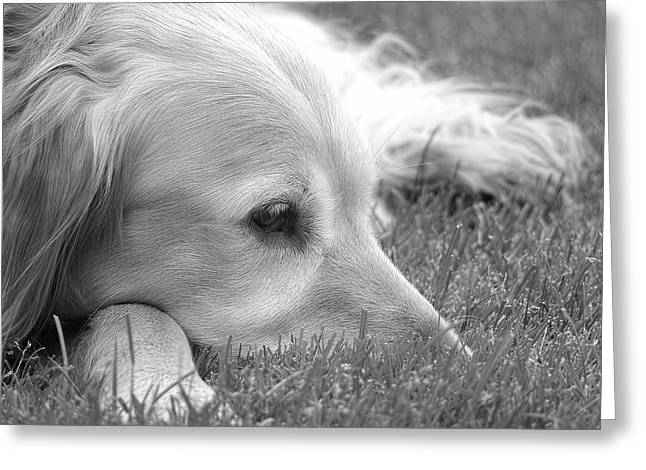 Golden Retriever Dog In The Cool Grass Monochrome Greeting Card by Jennie Marie Schell
