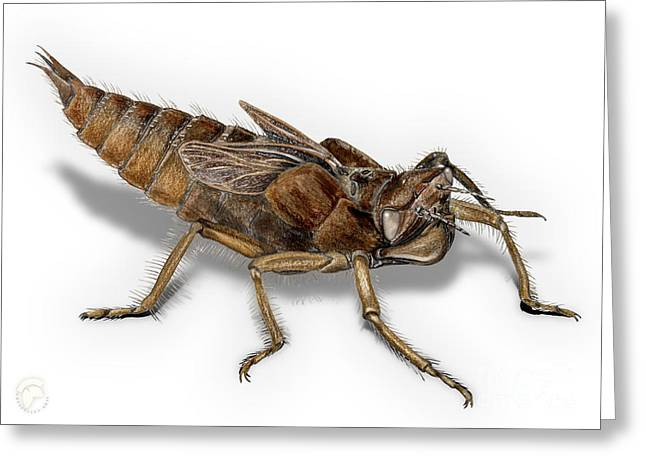 Golden-ringed Dragonfly Larva Nymph - Cordulegaster Boltonii - K Greeting Card by Urft Valley Art