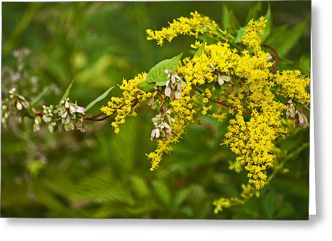 Greeting Card featuring the photograph Golden Rod by Elsa Marie Santoro