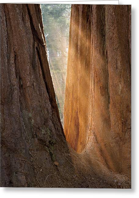 Golden Sequoia Greeting Card by Sandra Bronstein