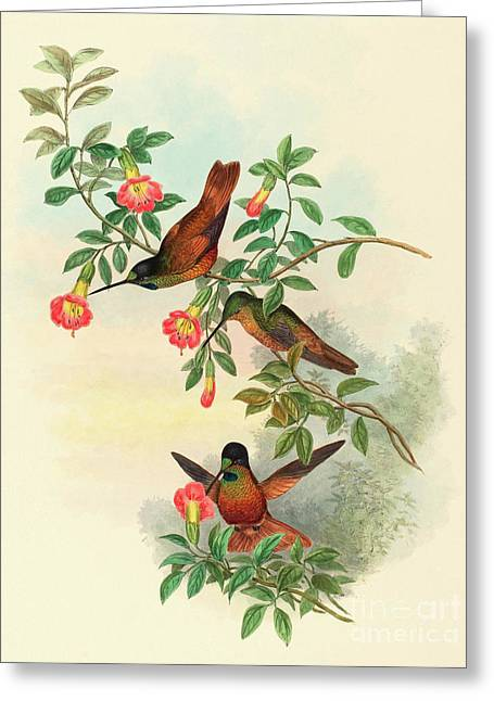 Golden Star Frontlet Greeting Card by John Gould
