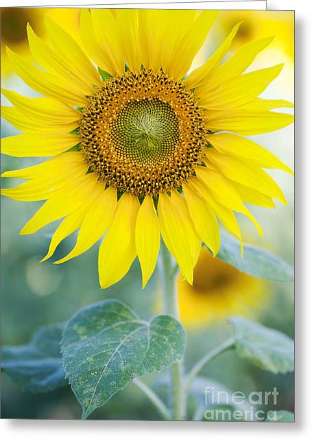 Golden Sunflower Greeting Card by Tim Gainey