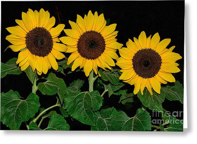 Golden Sunflowers On Black By Kaye Menner Greeting Card by Kaye Menner