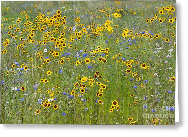 Golden Tickseed Meadow Greeting Card by Tim Gainey