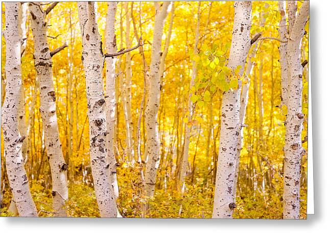 June Lake - Aspen Trees - Golden Trees Greeting Card