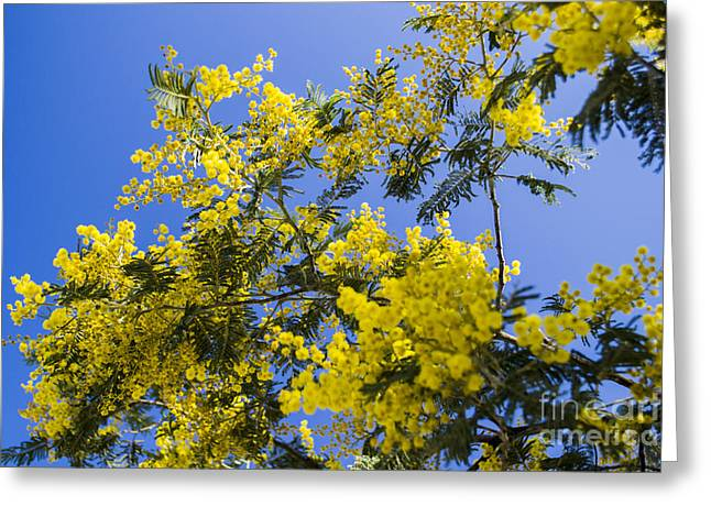 Greeting Card featuring the photograph Golden Wattle by Angela DeFrias