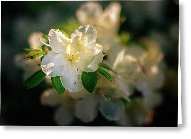 Golden White Azaleas Greeting Card by Tamyra Ayles