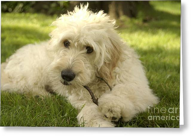 Goldendoodle Puppy And Stick Greeting Card