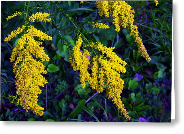 Greeting Card featuring the photograph Goldenrod by Shawna Rowe