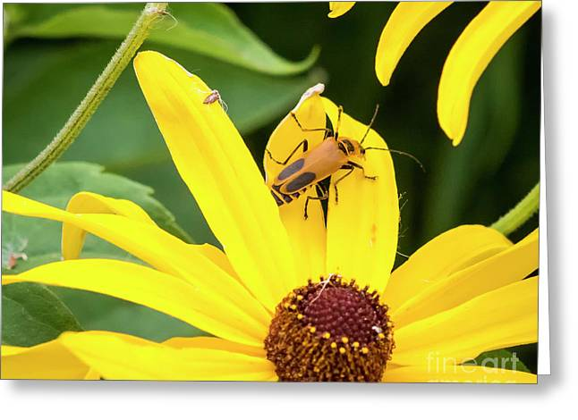 Greeting Card featuring the photograph Goldenrod Soldier Beetle by Ricky L Jones