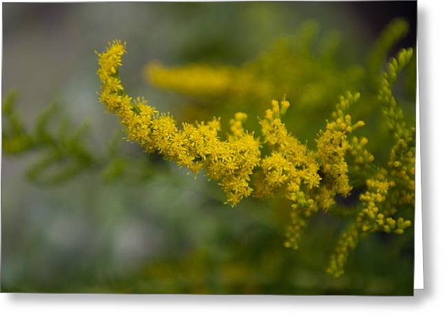 Goldenrod, The Nebraska State Flower Greeting Card by Joel Sartore