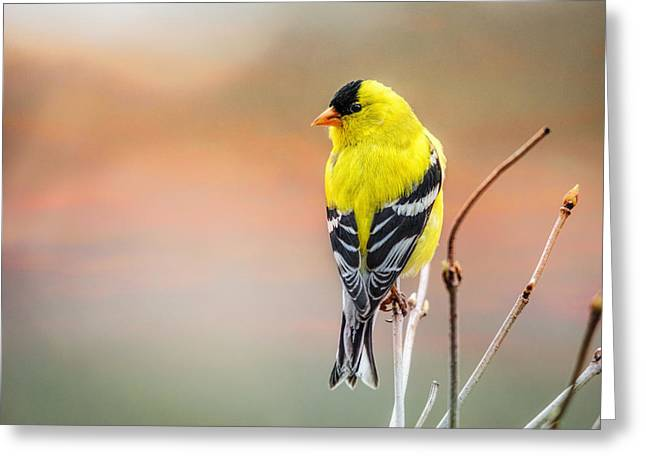 Goldfinch At Sunrise Greeting Card