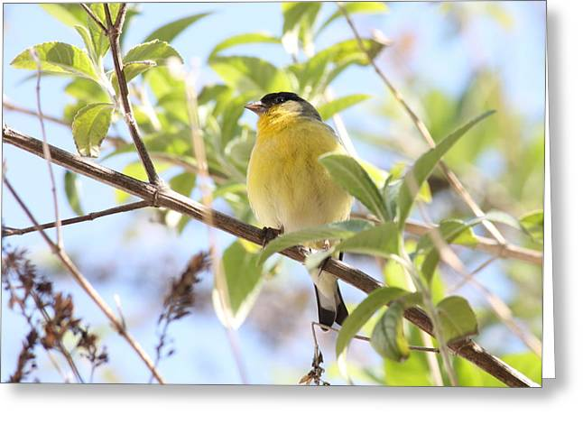 Bird On Tree Greeting Cards - Goldfinch in Spring Tree Greeting Card by Carol Groenen