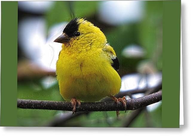Goldfinch Greeting Card by John Selmer Sr
