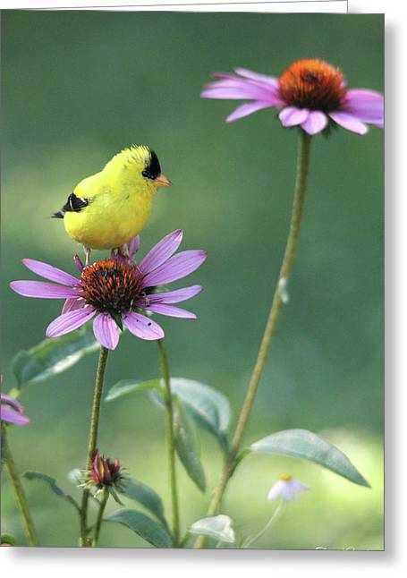 Goldfinch On A Coneflower Greeting Card