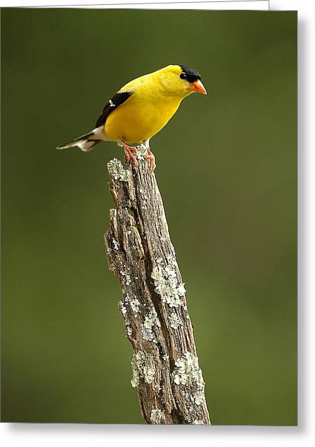 Goldfinch On Lichen Post Greeting Card by Alan Lenk